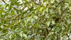 Olive colored bird in tropical tree bites and crushes green fruit to feed off it