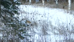 Partially hidden fox behind branches jumps in the snow in winter field