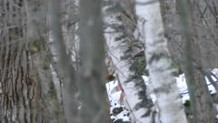Dense forest in winter with fox hiding behind trees in the distance in Canada