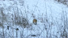 Fox walking in a snowy field with dry twigs before sitting down in snow to rest