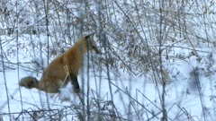 Fox sitting down in snow to save energy before standing and walking away