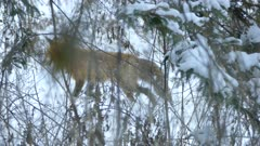 Fox seen thru pine trees and twigs walking medium pace in winter landscape