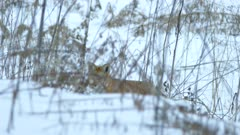 Fox's eyes peeking up over small snowy hill in a wild Canadian brushland