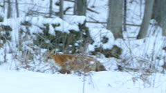 Zoom out shot of jogging fox passing by wooden well in Canadian winter