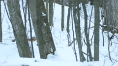 Fox with nice fur walks away backing the camera in Canadian snowy forest