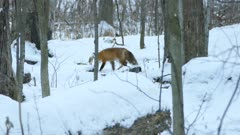 Canadian woodlands in winter is host to red fox who thrives on few resources