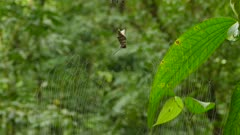 Spider arriving back to web that it is calling home in wild jungle