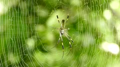 Giant spider resting in web while wind is gently blowing its strings