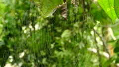 Spider slowly making its was back to large web in Costa Rica jungle