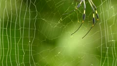 Closeup of weaver orb spider holding on to strings with thin legs on a web