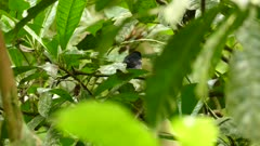 Back view of white-shouldered tanager holding non visible prey in Panama