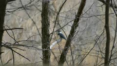 Belted kingfisher perched in Canada during overcast spring day with nice light