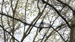 Underneath view of belted kingfisher standing on small branch with spring buds