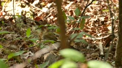 Wood thrush type of bird walking on forest soil along dead tree trunk