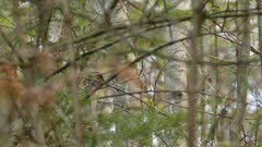 Camera attempting to follow quick moving blue warbler in spring mixed forest