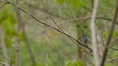 Black-throated blue warbler not staying long on branch before take off