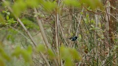 Black throated blue warbler hopping around trees in spring with hatching buds