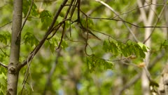 Beautiful red-eyed vireo in the spring with freshly grown maple leaves