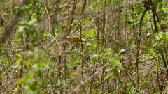 Brightly lit tracking shot of blue-winged warbler in the wild moving fast
