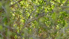One minute tracking shot of quick moving chestnut-sided warbler bird