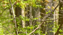 Red eyed vireo tiny bird flying fast on fresh young trees during nice spring day