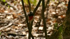 Rose-breasted grosbeak bird perched at low level in forest on sunny day