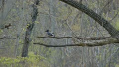Beautiful nature scene of spring forest with kingfisher turning around