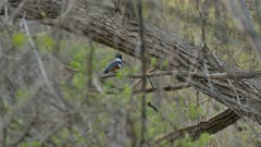 Kingfisher standing on elevated branch in a wild forest of Canada