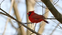 Bright red northern cardinal standing on branch in leafless tree in Canada
