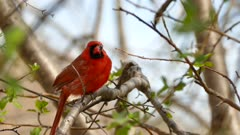 Northern cardinal in the spring perched in a tree near pretty hatching buds