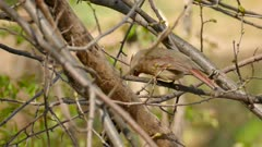Female northern cardinal stepping on to next branch in the wild