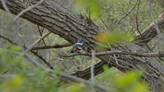 Beautiful belted kingfisher perched in the wild during spring with buds