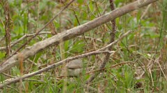 Sharp closeup of warbling vireo bird near the ground moving fast in America