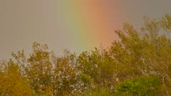 Trees blowing in the wind with very large rainbow in the background
