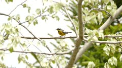 Striking magnolia warbler bird at spring season migration atop deciduous tree