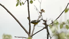Double shot of magnolia warbler on leaf tree and on pine tree in early summer