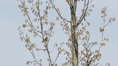 Deciduous tree with fresh little leaves on hazy sky with magnolia warbler bird