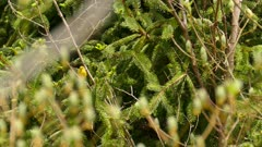Zoom-in shot of blue-winged warbler in a fresh pine tree in the bright sun
