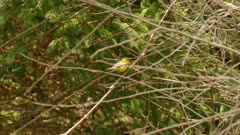 Blue-winged warbler hopping up a branch investigation for food sources