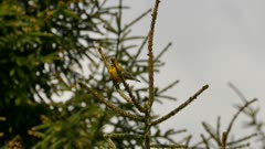 Sharp detailed shot of blue-winged warbler climbing up a pine tree branch
