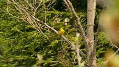 Bright day in early Canadian summer shows a blue-winged warbler bird