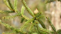 Closeup of a palm warbler bird during spring migration on a pine tree branch