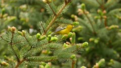 Macro closeup of blue-winged warbler on pine tree with hatching buds