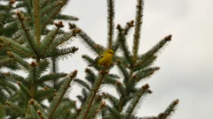 Blue winged warbler atop single pine branch with another one blurry behind