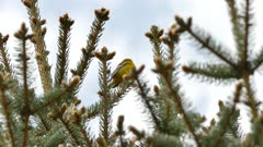 Blue-winged warbler vocalising atop pine tree in the wild on overcast day