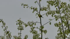 Small warbler bird hopping up and flying away from leafy tree on dark day