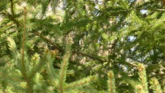 Palm warbler bird moving fast thru pine tree branches under the sun