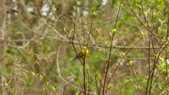 Blue winged warbler perched in light bush on blurry bokeh background