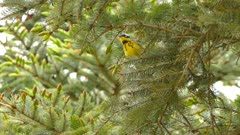 Striking and extremely fast little bird magnolia warbler vocalizing in pine tree