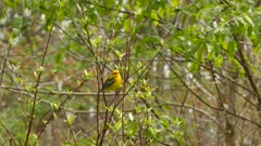 Pretty blue winged warbler with bright yellow feathers flies away in spring